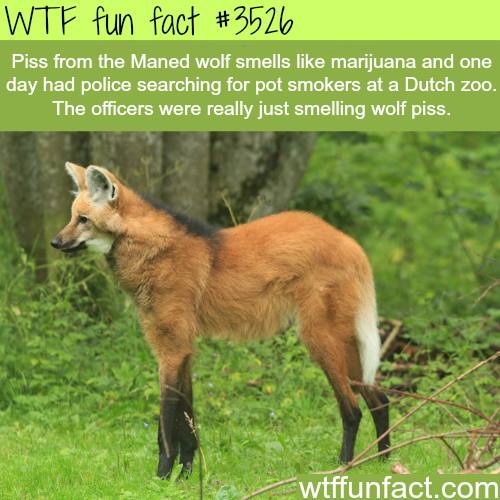 Piss from the Manned wolf smells like Marijuana - WTF fun facts