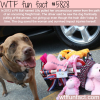 pit bull saves the life of his owner wtf fun