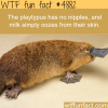 platypus facts wtf fun facts