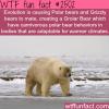 polar bears and grizzly bears grolar bear