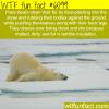 polar bears cleaning their fur wtf fun facts
