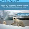 polar bears fur facts
