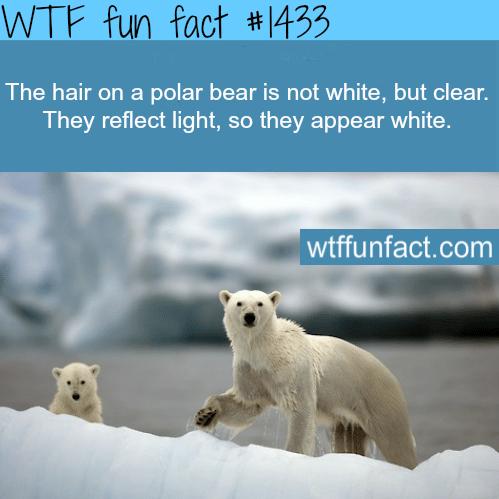polar bears fur