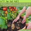 pomato plant wtf fun fact
