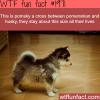 pomsky cross dog