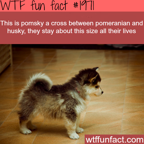 Pomsky cross dog - WTF fun facts