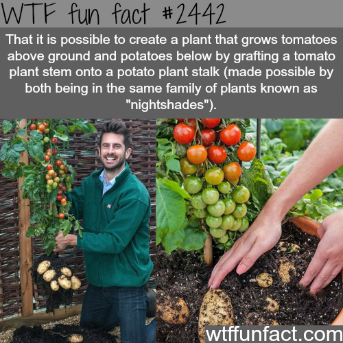 Potatoes and tomatoes at the same time - WTF fun facts