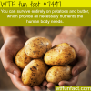 potatoes provide you with all nutrients your body