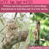 potoos camouflage wtf fun facts