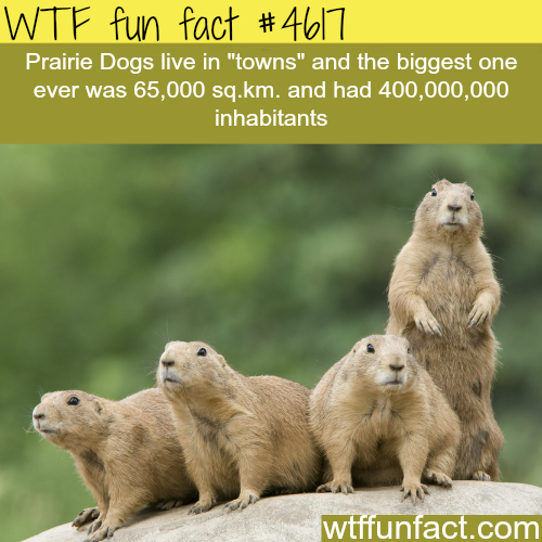 Prairie dogs -   WTF fun facts