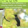 praying mantis vs humming bird