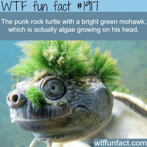 Punk turtle -WTF fun facts