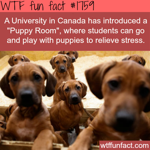 """""""Puppy Room"""" for students in a University in Canada-WTF fun facts"""
