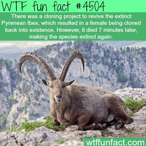 Pyrenean Ibex -   WTF fun facts