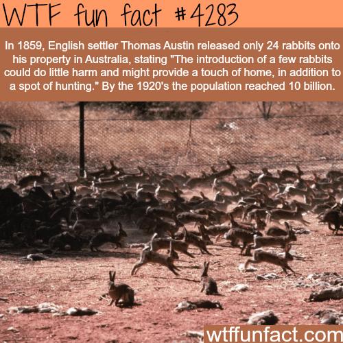 Rabbits in Australia -  WTF fun facts