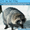 raccoon dog a dog that look like a raccoon