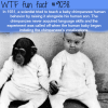 raising a human and a chimpanzee together wtf