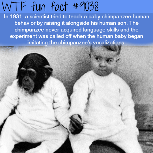 Raising a human and a chimpanzee together - WTF fun facts