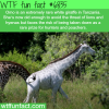 rare white giraffe wtf fun fact