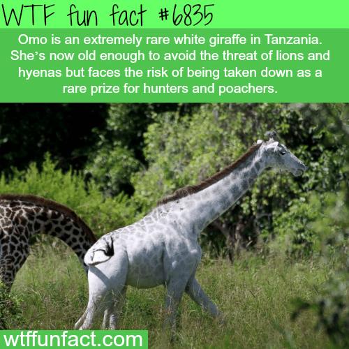 Rare white giraffe - WTF fun fact