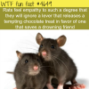 rats and empathy wtf fun facts