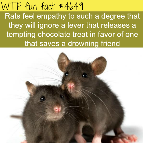 rats and empathy - WTF fun facts