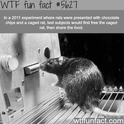 Rats are nicer than you - WTF fun fact