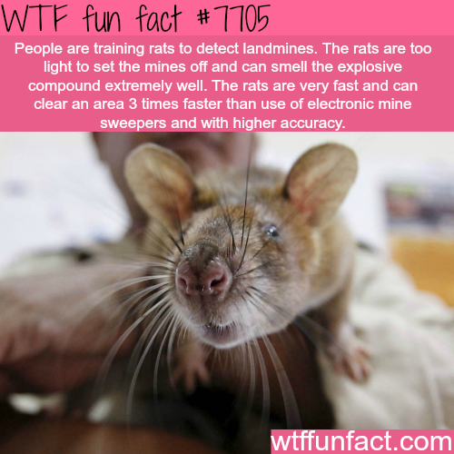 Rats that detect landmines - WTF fun facts