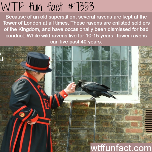 Ravens at the Tower of London - WTF fun facts