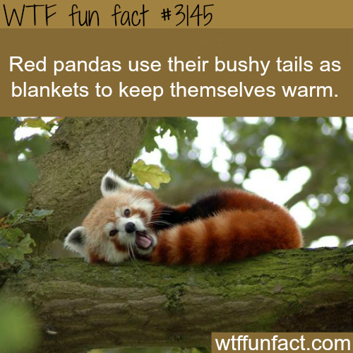 Red Panda's tail -WTF fun facts