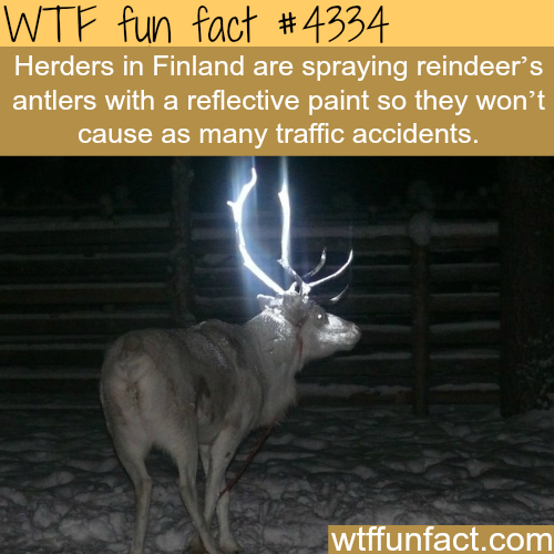 Reflective paint is being sprayed on reindeer's antlers -  WTF fun facts