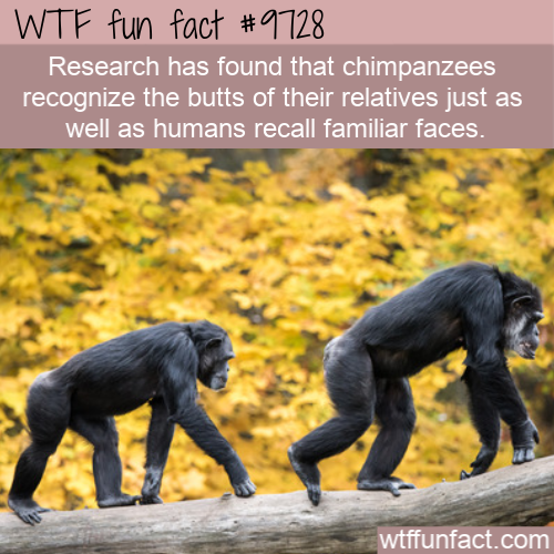 Research has found that chimpanzees recognize the butts of their relatives just as well as humans recall familiar faces.