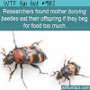 researchers found mother burying beetles eat their