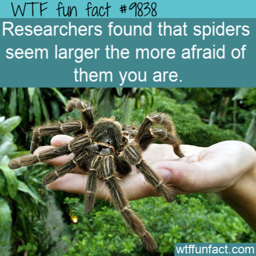 Researchers found that spiders seem larger the more afraid of them you are.