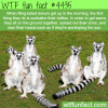 ring tailed lemurs sunbathing