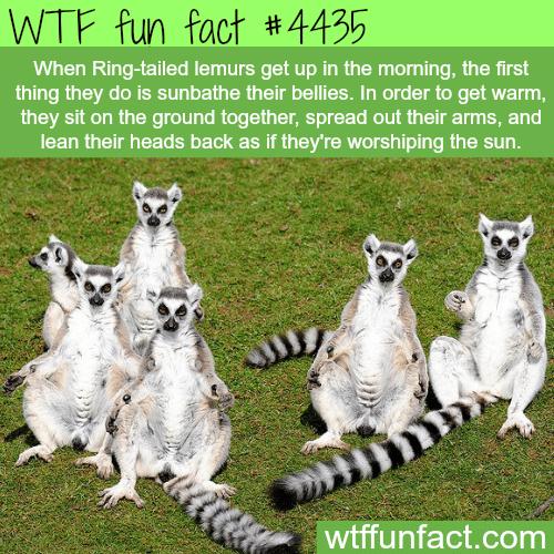 Ring-tailed lemurs sunbathing -   WTF fun facts