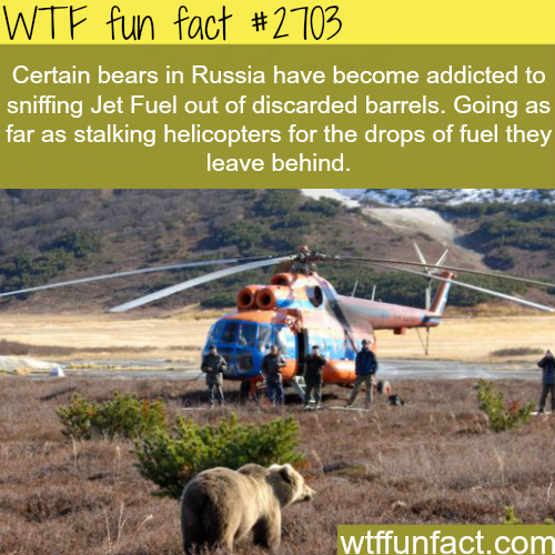 Russian bears sniffing Fuel - WTF fun facts