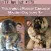 russian caucasian mountain dog pics wtf fun facts