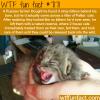 russian farmer finds a litter of pallas cats