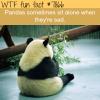 sad panda wtf fun fact