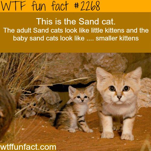 Sand Cat -WTF fun facts