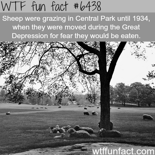 Sheep in Central Park - WTF fun facts