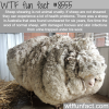 sheep shearing wtf fun facts