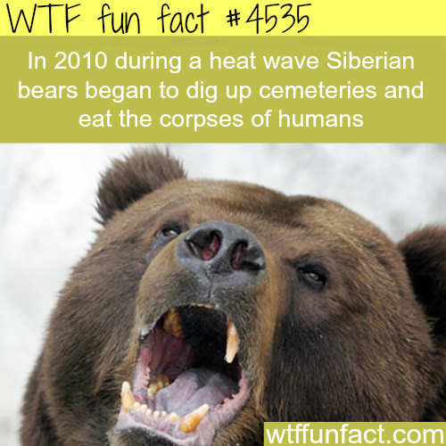Siberian Bears dig up cemeteries and eat the corpses of humans -   WTF fun facts