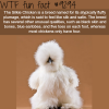 silkie chicken wtf fun fact