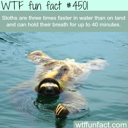 Sloth swimming in water -   WTF fun facts