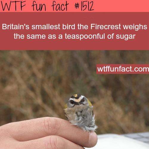 Smallestbird in Britain!the Firecrest.