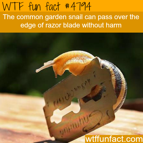 Snails can pass over a razor blade without any harm - WTF fun facts