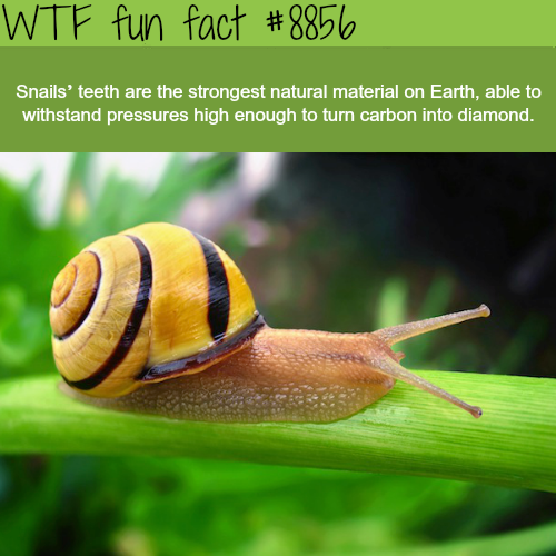 Snails teeth - WTF fun facts