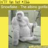 snowflake the albino gorilla